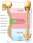 Picture of Cervical Spine
